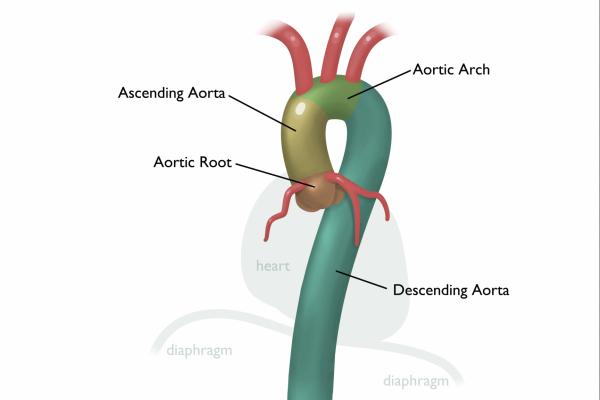 aortic anatomy segments